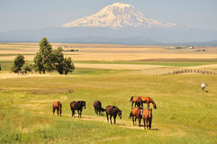 Horses and Mt. Adams Stock Photos