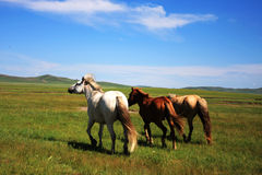 Horses on the Nailin Gol Grassland Stock Image