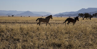 Horses in Namibia in the bush Royalty Free Stock Image