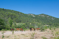 Horses in nature Royalty Free Stock Photos