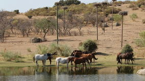 Horses in nature reserve Los Barruecos, Extremadura, Spain stock video