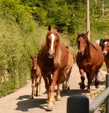 Horses in nature Stock Photography