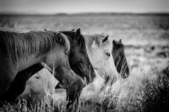 Horses of Navajo Royalty Free Stock Images