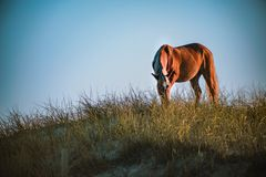 Horses in NC. North Carolina wild horses were absolutely beautiful stock photo