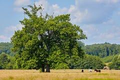 Horses near a big oak Royalty Free Stock Photography