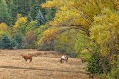 Horses near fall trees. Royalty Free Stock Images