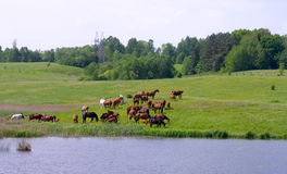 Horses near the lake Royalty Free Stock Photography