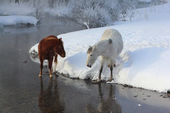 Horses near the melting river in  spring Stock Image