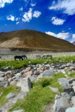 Horses near river in Himalaya Royalty Free Stock Images