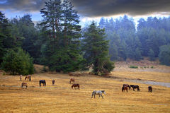 Horses near spring forest. Horses on wonderful spring meadow during calm morning sunrise near by colored misty forest Royalty Free Stock Photos