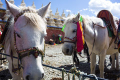 Horses near temple in Tibet Stock Images