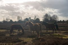 Horses in New Forrest United Kingdom. Group of four New Forrest ponies in Hampshire, United Kingdom stock photos