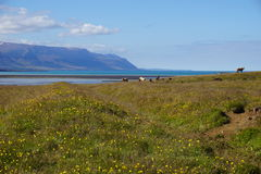 Horses in North Iceland Royalty Free Stock Photography