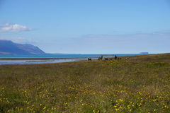 Horses in North Iceland Royalty Free Stock Image