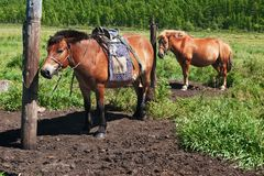 Horses in the north of Mongolia Royalty Free Stock Images
