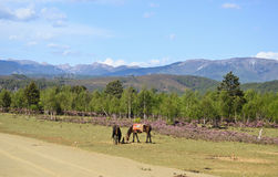 Horses in north Yunnan, China Royalty Free Stock Photography