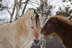 Horses in Norway Royalty Free Stock Photography