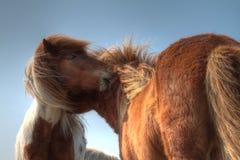 Horses nuzzling Royalty Free Stock Image