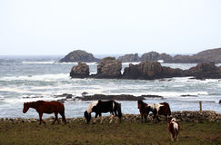 Horses by the ocean Stock Photo