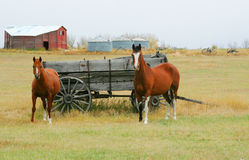 Horses and old  wagon in field Royalty Free Stock Image