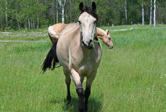 Horses out in green pasture. Two Horses feeding out in green pasture stock photography