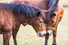 Horses in outdoor stables. Tow horses in outdoor stables Royalty Free Stock Images