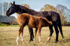 Horses outdoors Stock Photography