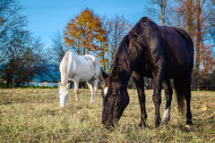 Horses outdoors Royalty Free Stock Image