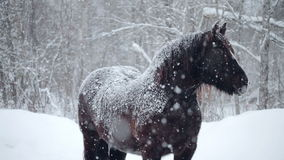 Horses Outside during a Winter Snowstorm. Horses Outdoor during a Cold Winter Blizzard stock footage