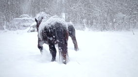 Horses Outside during a Winter Snowstorm. Horses Outdoor during a Cold Winter Blizzard stock video