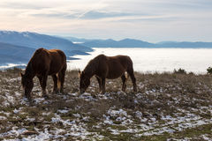 Horses over a sea of fog. Two horses pasturing on top of a mountain over a sea of fog, with golden light, with some distant and misty mountains on the background stock photo