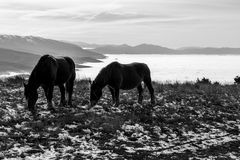 Horses over a sea of fog. Two horses pasturing on top of a mountain over a sea of fog, with some distant and misty mountains on the background royalty free stock photography