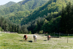 Horses in the paddock. Three horses grazing in a field of flowers Royalty Free Stock Image