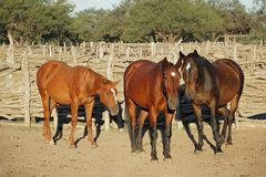 Horses in a paddock Royalty Free Stock Image