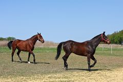 Horses in the paddock. Two bay stallions run in the paddock Royalty Free Stock Photo