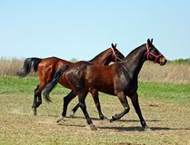 Horses in the paddock. Two bay stallions run in the paddock Stock Photo