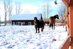 Horses in a paddock covered with snow Royalty Free Stock Photography