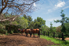 HORSES IN PADDOCK Royalty Free Stock Photography