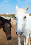 Horses in the paddock. Royalty Free Stock Photos