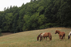 Horses on a paddock Stock Images
