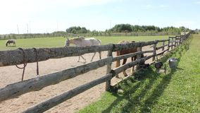 Horses in the paddock on a summer day. Beautiful brown horse on a summer day in a farm pen stock video