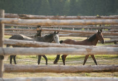 Horses in a paddock Royalty Free Stock Images