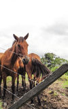 Horses of Panama. Near Volcan Baru Stock Photography