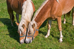Horses on the pasturage Royalty Free Stock Photo