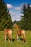 Horses on the pasturage Royalty Free Stock Photos