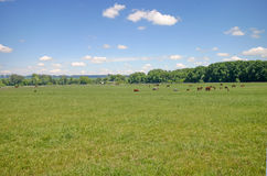 Horses on pasture. Country landscape with horses herd on pasture Royalty Free Stock Images