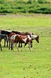 Horses in pasture Stock Photos