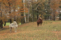 Horses In Pasture. New England  Scene In Vermont Royalty Free Stock Images