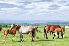 Horses on pasture stock image