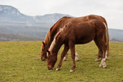 Horses on a pasture Stock Photos